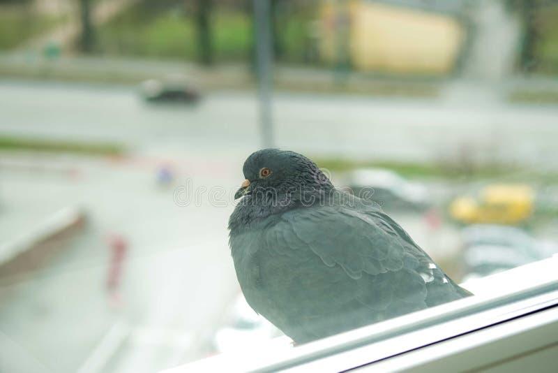 Curious duva tittar på fönstret royaltyfri bild