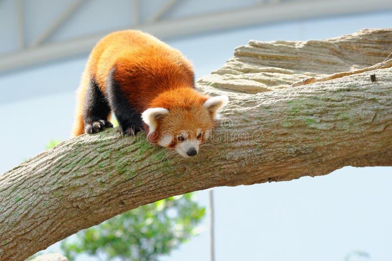 Curious, endangered red panda stock photos