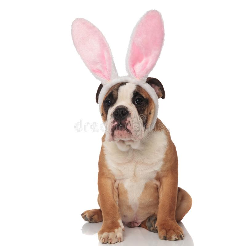 Curious english bulldog dressed as easter bunny looks to side royalty free stock images