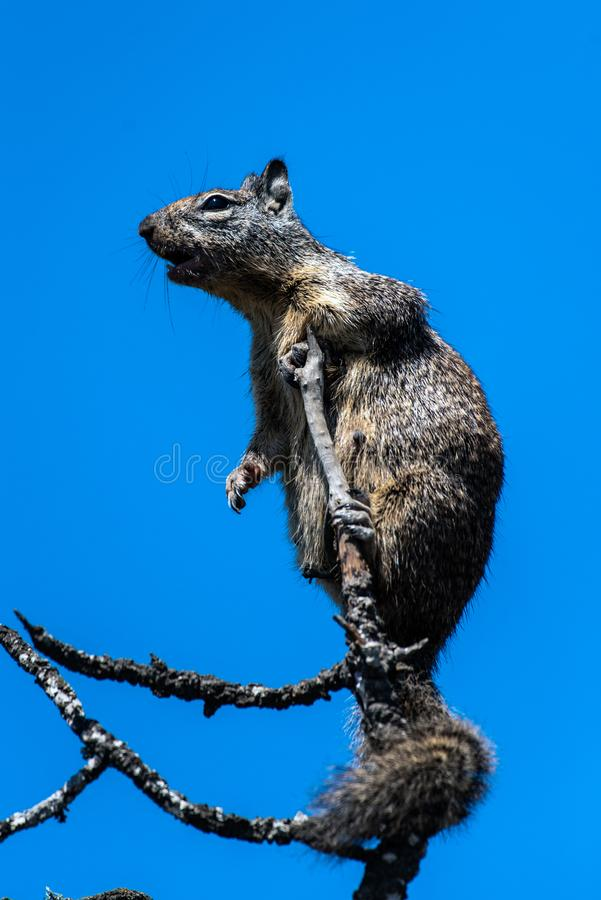 Curious eyes remaining alert in nature. Furry ground squirrel looking off into the distance with arm hanging down from a protected perch atop branch of tree royalty free stock photo
