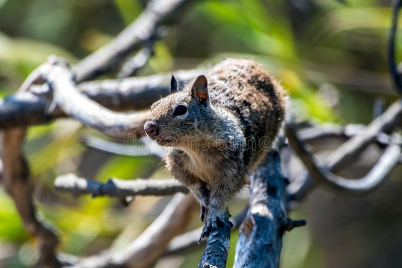 Curious eyes remaining alert in nature. Furry ground squirrel looking off into the distance while climbing along dried branch of tree royalty free stock photography