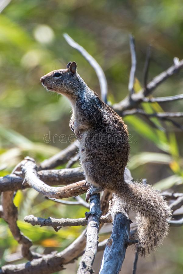 Curious eyes remaining alert in nature. Furry ground squirrel looking off into the distance while standing atop a branch of tree royalty free stock image