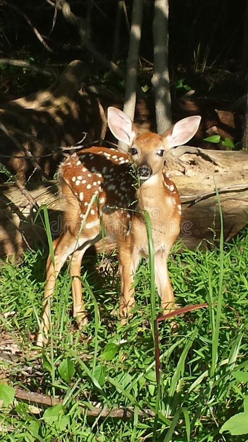 Curious fawn stock images