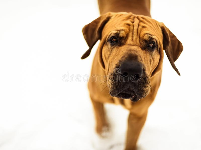 Curious Fila Brasileiro Brazilian Mastiff close-up, copy space royalty free stock photography