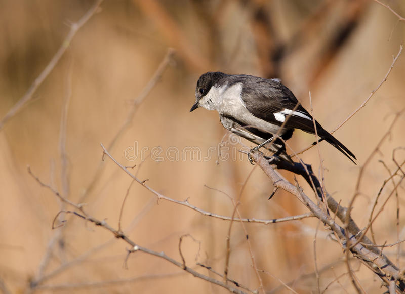 Download Curious Fiscal stock image. Image of small, black, shrike - 27083487