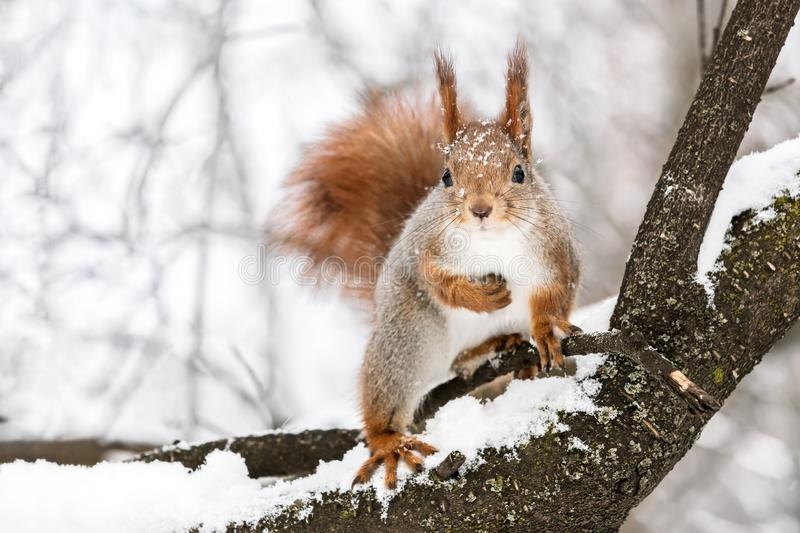 Curious fluffy squirrel sitting on tree branch against blurry wi. Curious fluffy squirrel sitting on tree branch against snowy winter park background royalty free stock images