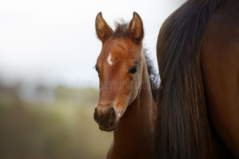 Curious foal watching the camera from behind his mother`s rump royalty free stock photo