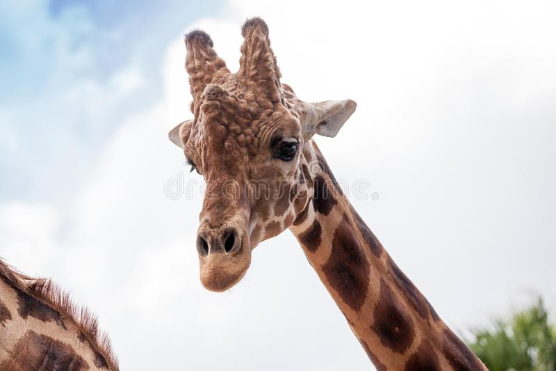 Curious and friendly Reticulated giraffe Giraffa camelopardalis. Reticulata looks down from its long, high neck royalty free stock photos