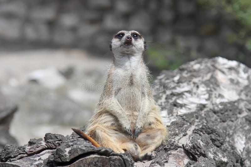 Curious funny meerkat sitting on a stump and looks into the camera. stock image