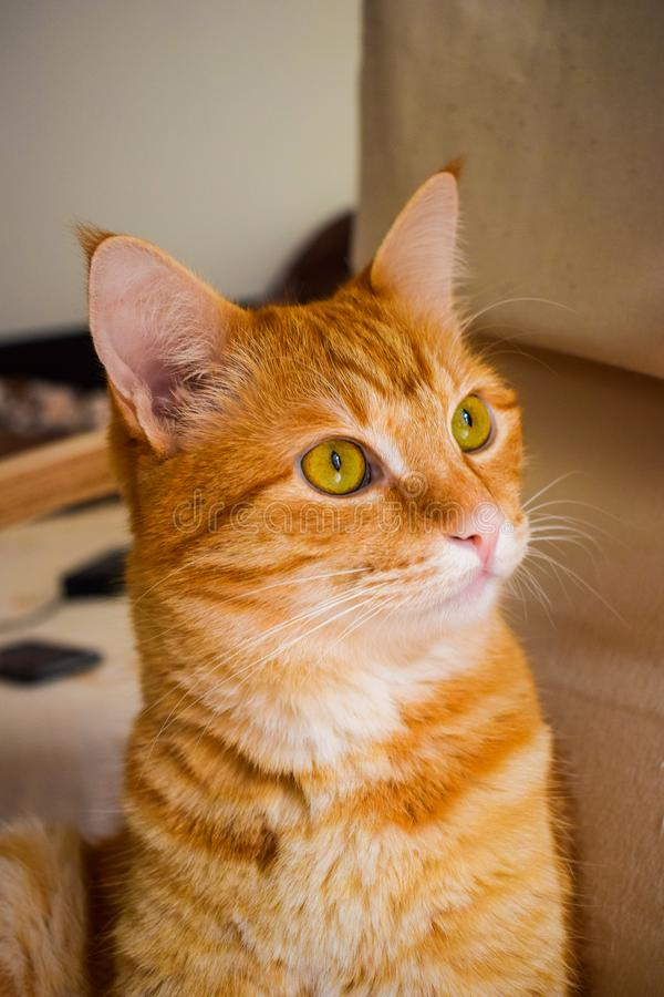 Curious ginger cat looking up. stock photography