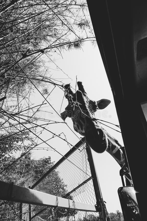Download Curious Giraffe Stock Photo - Image: 83712959