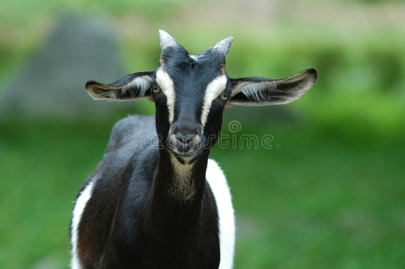 Download Curious Goat stock photo. Image of black, wildlife, goat - 1445236