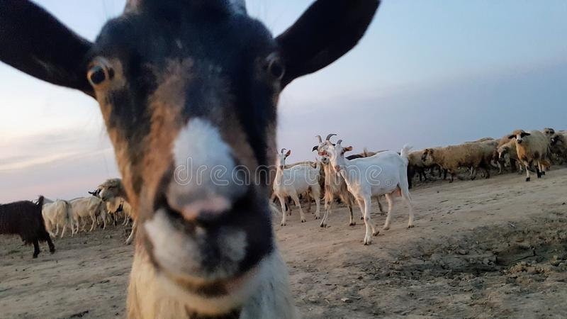 Curious Goat And Goat Herd royalty free stock image