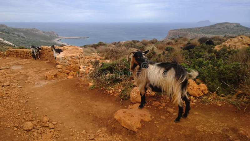Curious goat on the mountain at Balos in cloudy weather royalty free stock photos