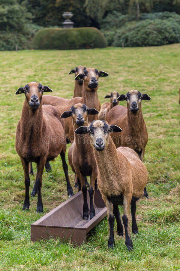 Curious goats royalty free stock images