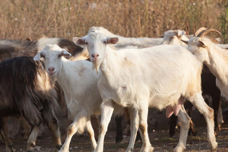 Curious goats. A herd of goats walking royalty free stock photography