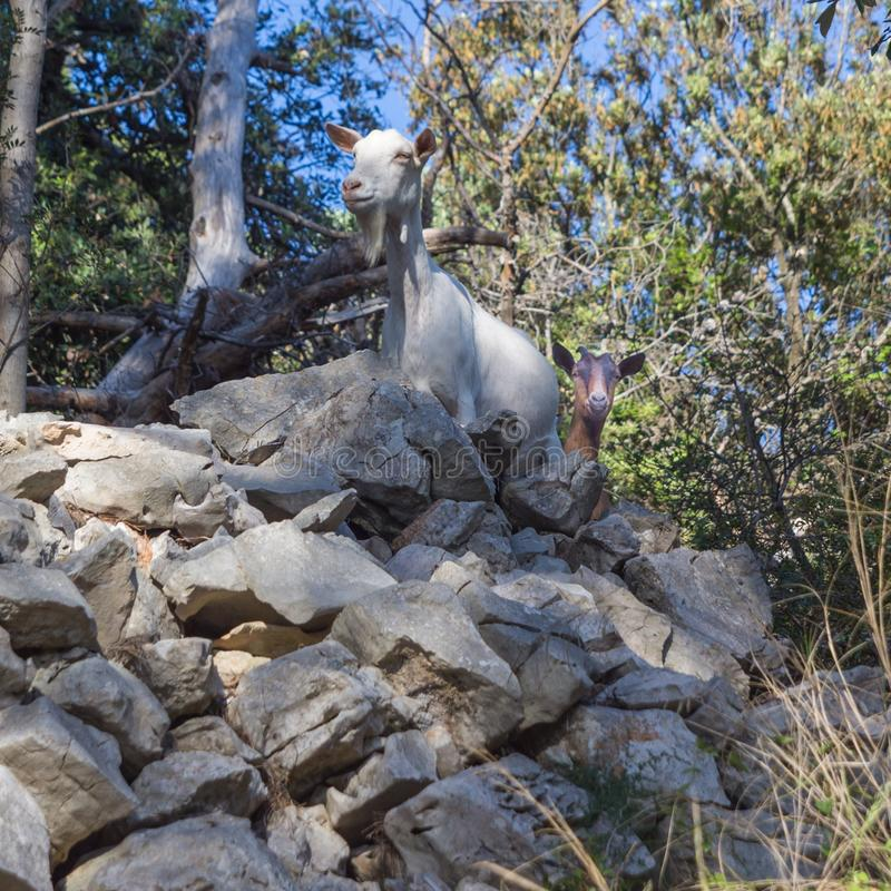 Curious goats in the rocks of a Mediterranean environment. stock photography