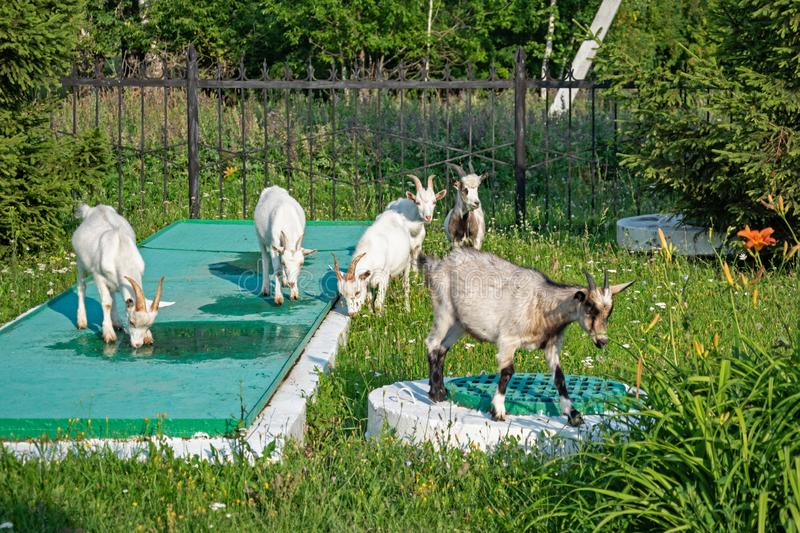 Curious goats are standing on the sewer wells, next to the inscription Treatment facilities in Russian royalty free stock photos