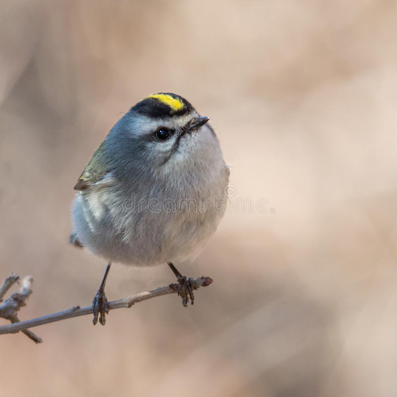 Curious golden crowned kinglet royalty free stock image