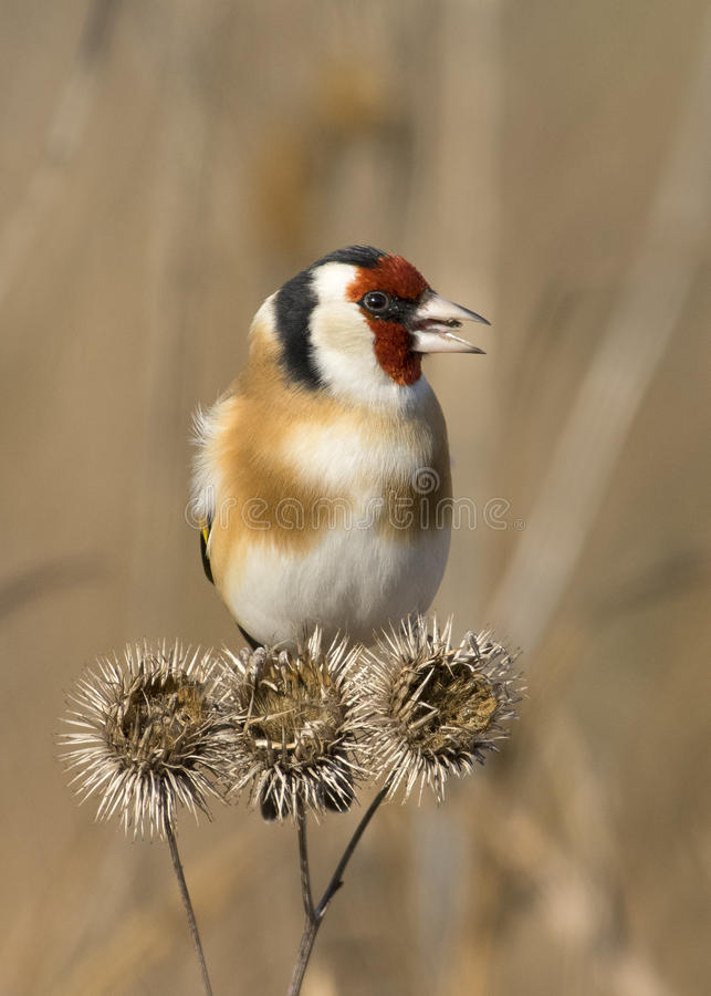Curious Goldfinch. A curious goldfinch during a sunny autumn day royalty free stock photography