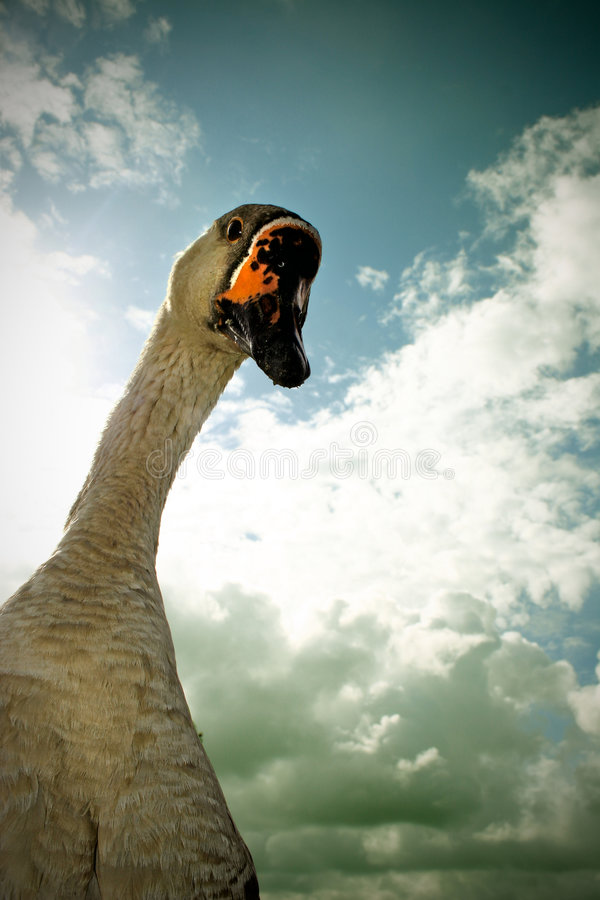 Curious goose. Funny encounter with an inquisitive goose, Stellendam, Netherlands stock photography