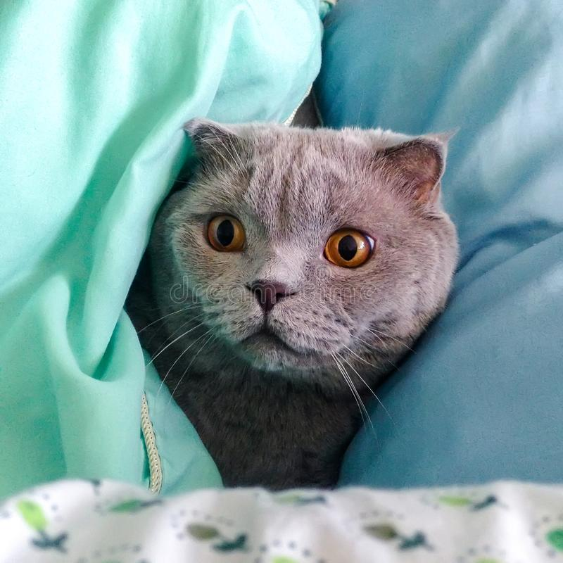 Curious gray Scottish Fold cat peeking between green and blue pillows royalty free stock images