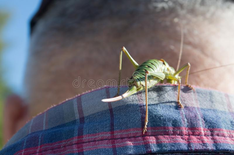 Curious green cricket. Green cricket walking on the man's shirt, giving an unpleasant feeling. Human contact with insect royalty free stock image