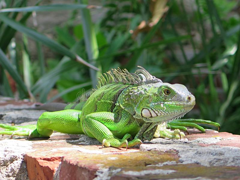 A curious iguana at Key West. A curious green iguana at Key West in August 2019 royalty free stock images