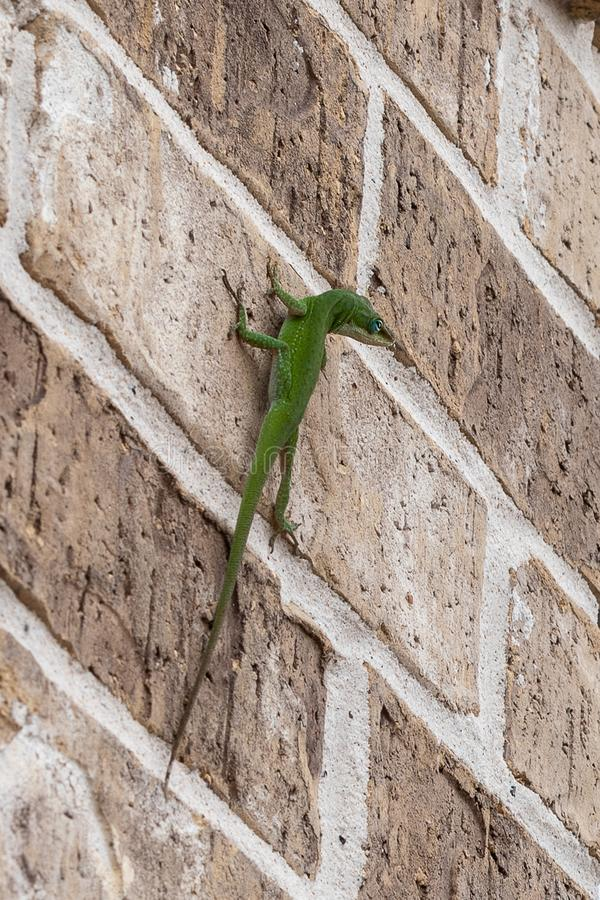 Curious green lizard with head cocked to the side royalty free stock image