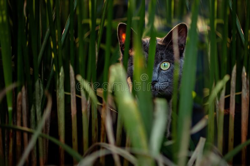 Curious Grey Cat on the porch hiding in plants royalty free stock image