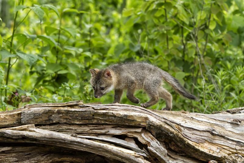 Curious Grey Fox Baby Exploring a Log stock photo