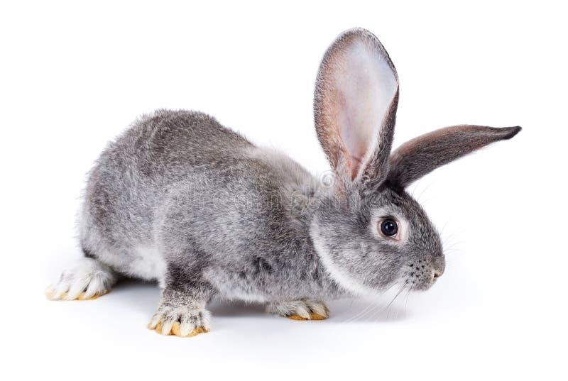 Curious grey rabbit sniffing. Curious young domestic grey rabbit sniffing stock photo