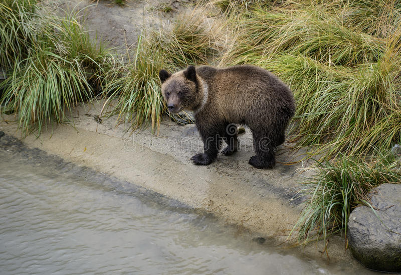 Curious grizzly cub. A young grizzly cub looks at the camera as he walks along the riverbank of the Chilkat river in Haynes, Alaska royalty free stock photos