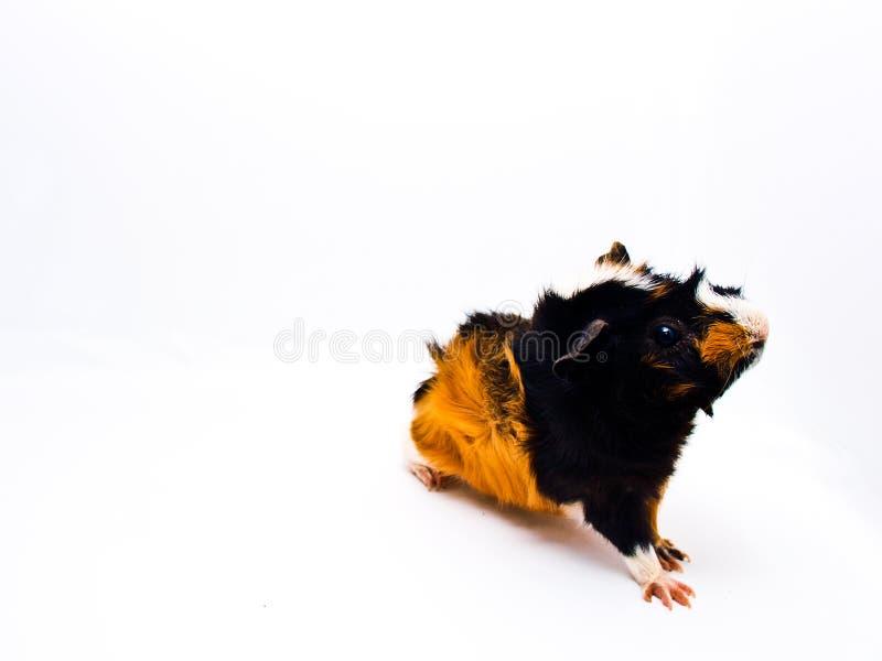 Curious guinea pig stock images