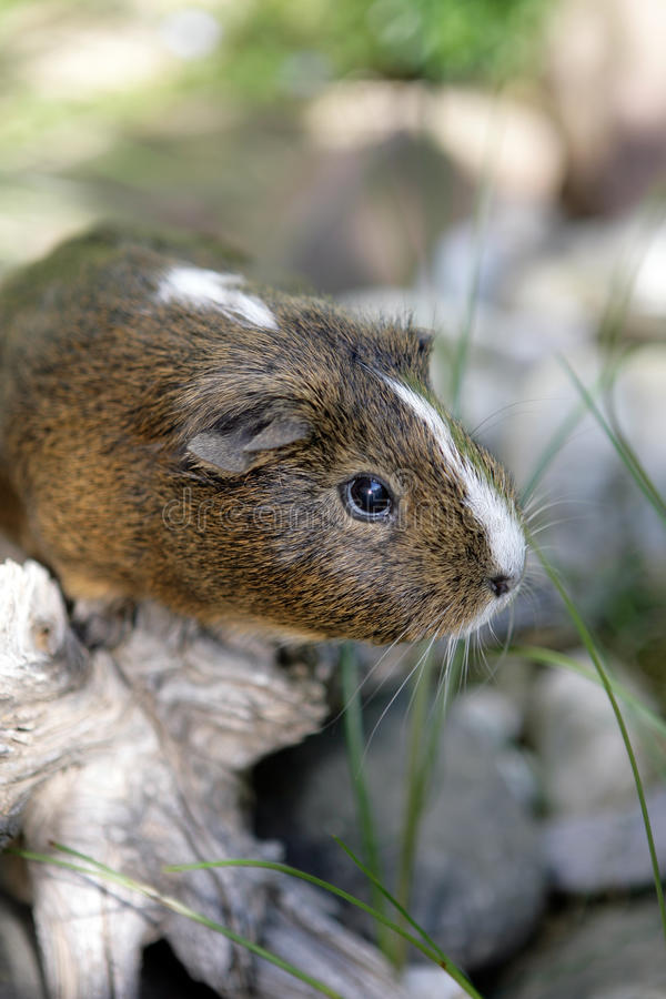 Download Curious Guinea pig stock image. Image of haired, joyful - 14749201