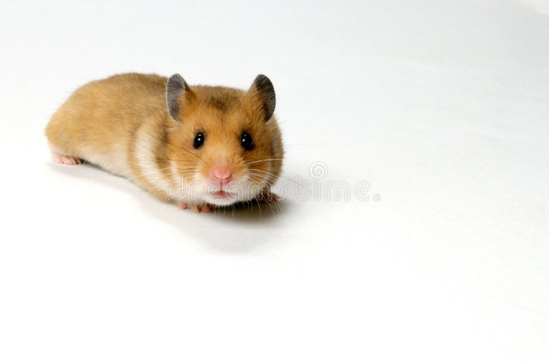 Curious Hamster stock photo