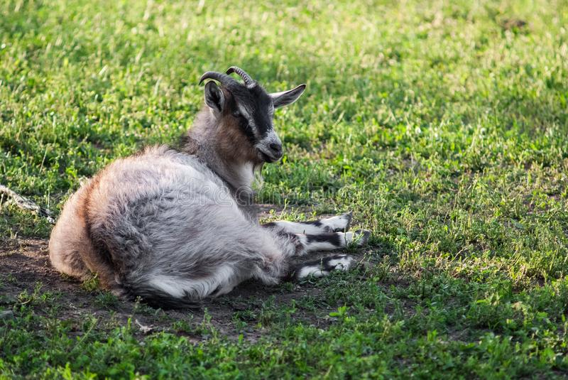Curious happy goat grazing on a green grassy lawn.Portrait of a funny goat. Farm Animal royalty free stock image