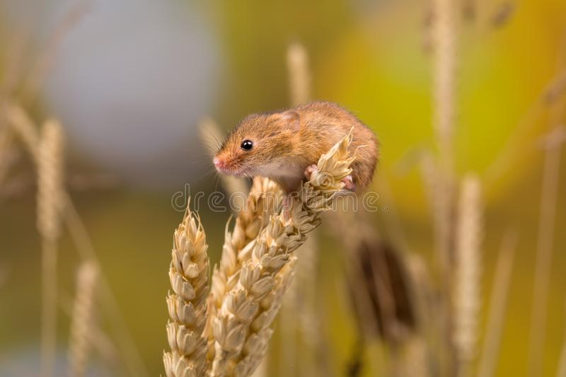 Curious Harvest Mouse royalty free stock image