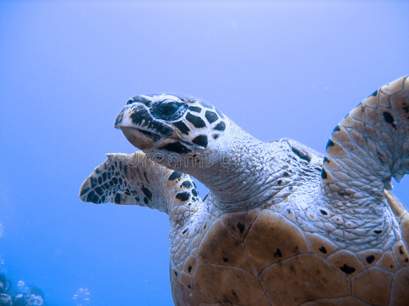 Curious hawksbill sea turtle (endangered) royalty free stock photography