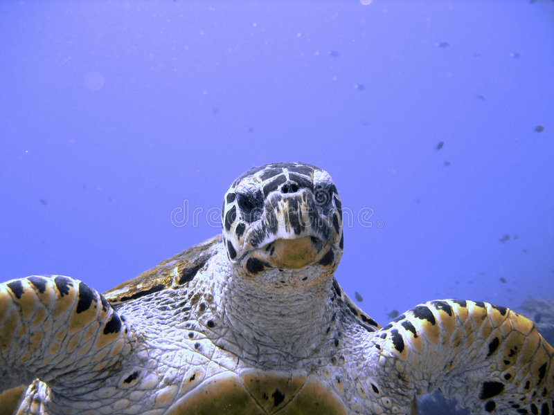 Curious hawksbill sea turtle (endangered) stock photos
