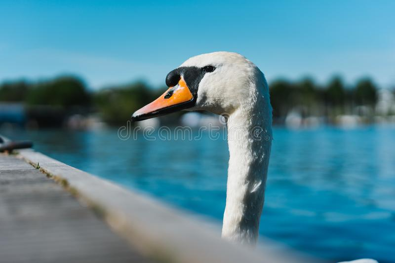 Curious head of a swan coming up behind the pier at Alster Lake in Hamburg, Germany stock image