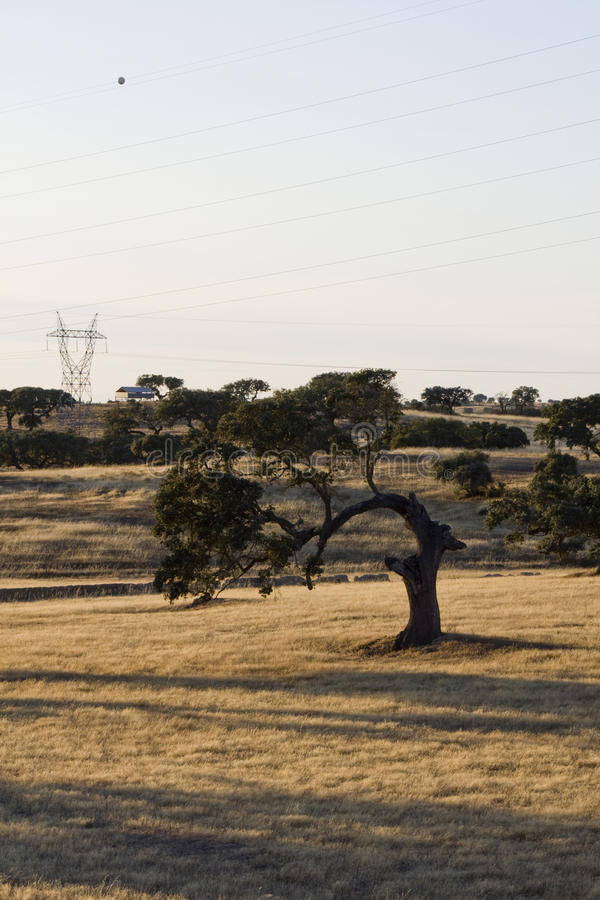 Download Curious holm oak tree stock image. Image of curved, wind - 12275549