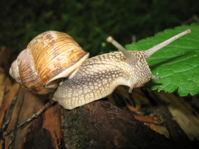 Download The Curious Horned Snail Crawling On A Tree Stock Image - Image: 20157547