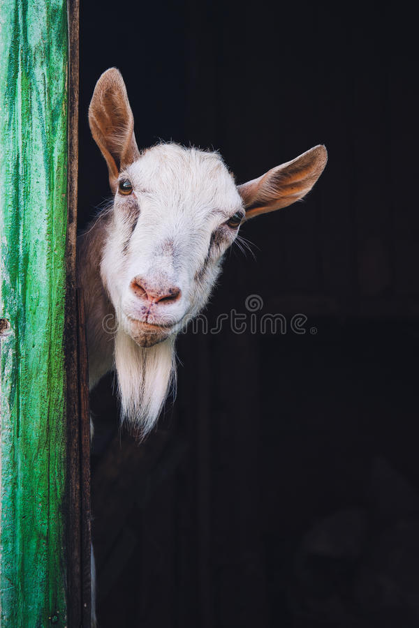 Free Curious Hornless Goat Royalty Free Stock Photo - 43899245