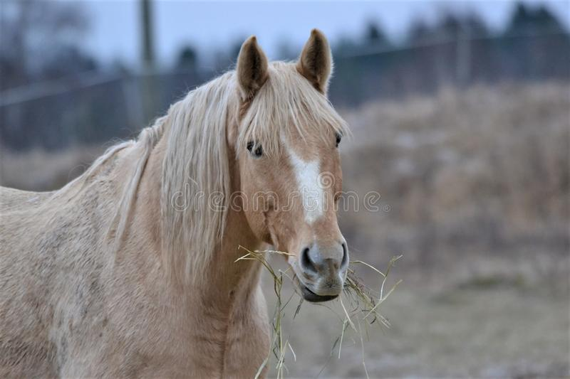 A beautiful brown horse eats hay. royalty free stock image