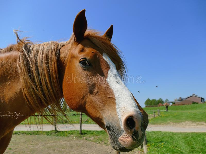 Curious horse close up looking in camera. On a sunny day stock image