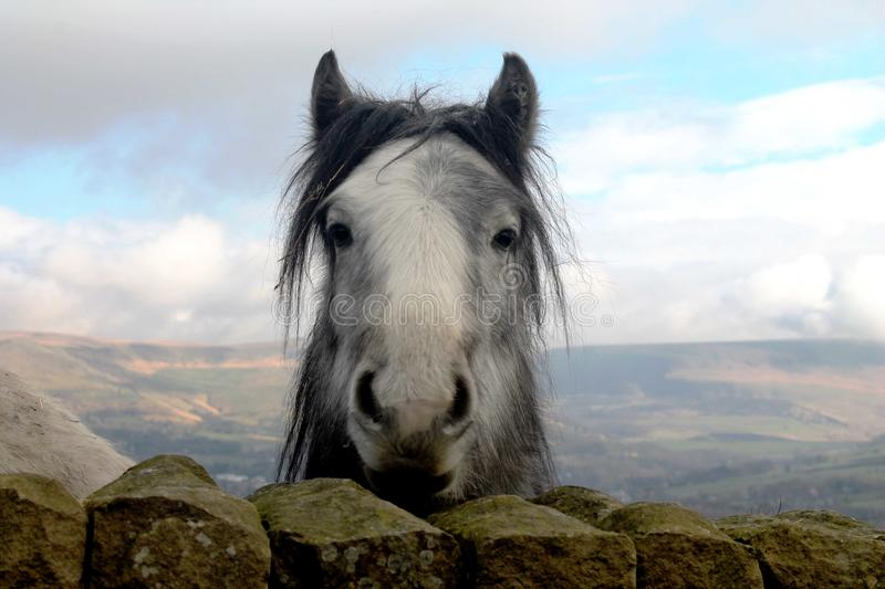 Download Curious Horse In Open Fields Looking Directly At The Camera. Stock Photo - Image of oldham, countryside: 67345474