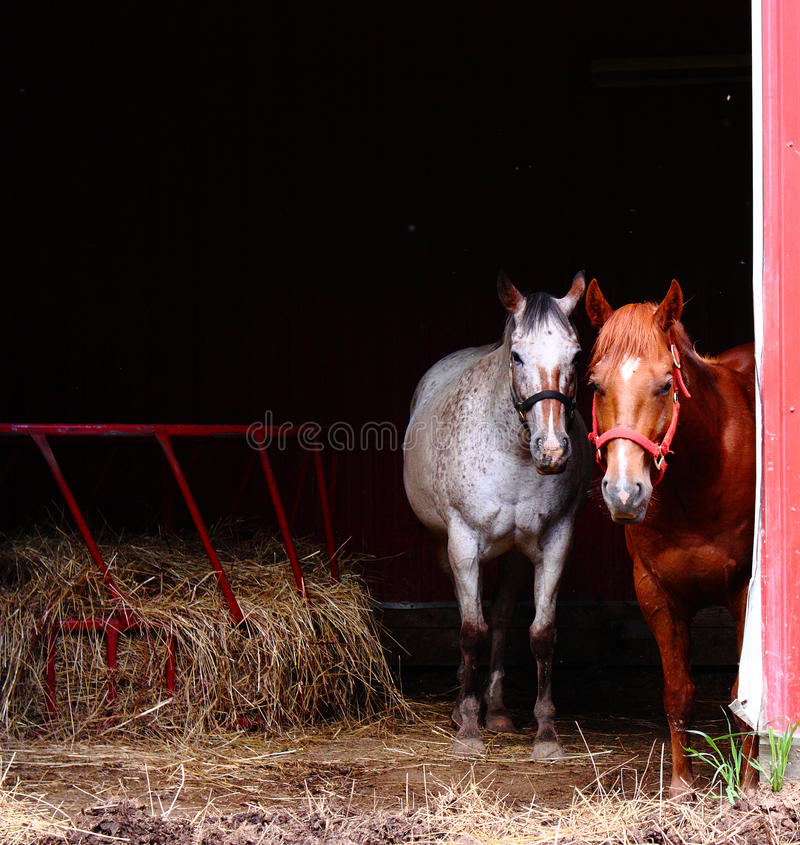 Curious Horses in Barn royalty free stock images
