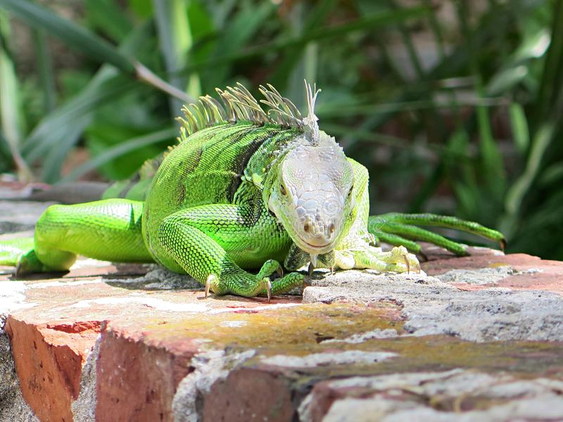 A curious iguana at Key West. A curious green iguana on a wall at Key West in August 2019 stock image