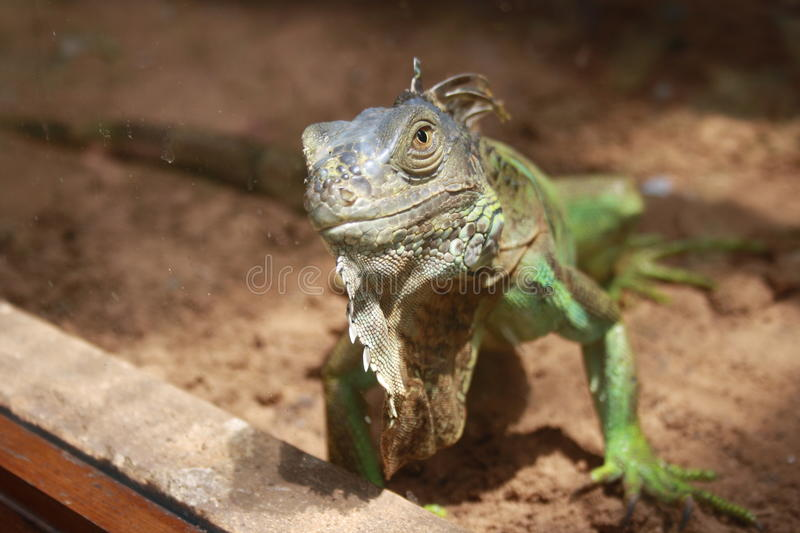 A curious iguana. Iguana looking at the camera with a curious expression stock photos